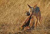Silver-backed Jackal Eats leftovers from Lion Kill (Canis mesomelas),Tanzania