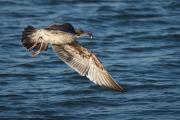 Juvenile Western Gull (Larus occidentalis) catches shrimp in Elk Horn Slough