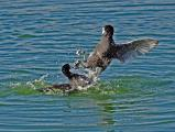 American Coots (Fulica americana) fighting