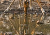 Giraffe and Its Reflection